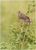Savannah Sparrow by Ryser915