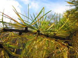 Pine Needles (01) by MacLiss0723