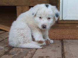 White Border Collie 8 :Stock: by WesternStock