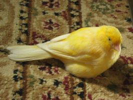 Canary 4 by Emane1983