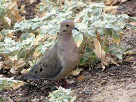 Mourning Dove In Doveweed by AppleHunter
