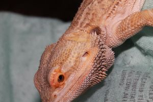 Bearded Dragon 2 by Breath0fAir