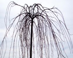 Dead Weeping Cherry by Stock-by-Kai