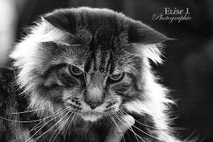 Maine Coon III by EliseJ-Photographie