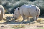White Rhinoceros by Linay-stock