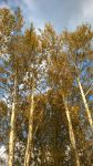 Birches by kg177