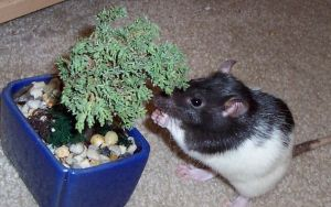 Bonsai Rat by InVeRtEd-TaCo