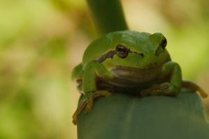 European tree frog /6 by andabata