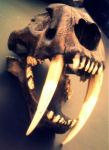 Saber Tooth Tiger Skull by Animal-Amans