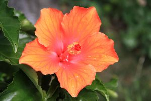 Pearled Hibiscus by Azagh