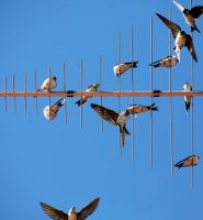 Swallows are excellent fliers by KariLiimatainen
