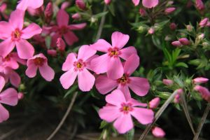 Small Pink Flowers by kurtywompus