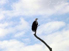 Fish Eagle by Kiara-Cloud