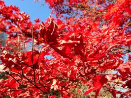 Closeup of fall foliage at Stanley Park by kevintheman