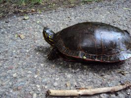Painted Turtle by highlyimprobable