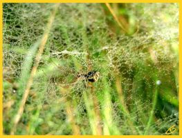 Spiders web by Schunki
