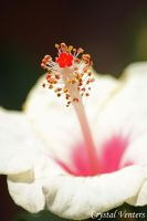 White Hibiscus by poetcrystaldawn