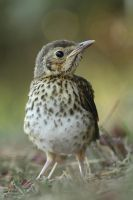 song thrush by unbelievablex