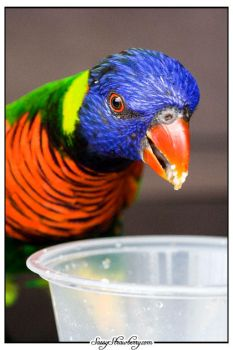 Lorikeets by evildolly