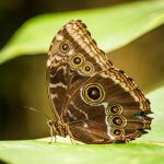 Blue Morpho by SeamusHooligan