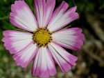 Pink Edged Flower (2) by Michies-Photographyy
