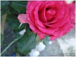 When This Rose Withers... by kimistarrphotography