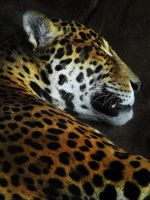 Don't Wake the Jaguar by WillFactorMedia