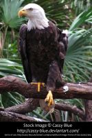 Bald Eagle Stock by Cassy-Blue