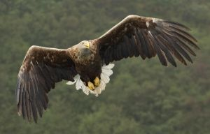 Feed me NOW!!!- White-tailed Eagle by Jamie-MacArthur