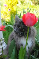 Loki Amongst The Tulips by Forestina-Fotos
