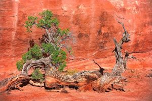 The Haggard Old Juniper by Jacob-Routzahn