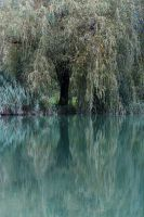 Willow Reflections by organicvision