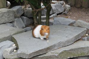 Guinea Pig by Icedragon300