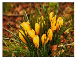 Spring Crocuses (Unrestricted Stock) by fineartbyandrewdavid