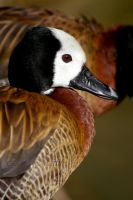 Whistling Duck by Caelitha