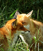 Red Foxes by xxhtloverxx