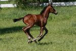 Bay Warmblood Colt 001 by Notorious-Stock