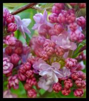 The Sweetest Pinks by Forestina-Fotos