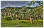 Vaches Tahitiennes by Satourne