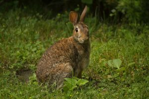 Eastern Cottontail June - 2014 - 23 - 1 by toshema