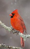 Cardinal in snow by DGAnder