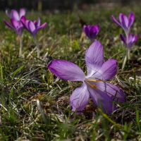 14-02 Crocus #3 by evionn
