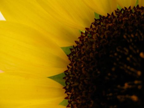 SunFlower by piccolastellina