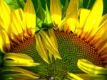 Sunflower Comb Over by feepinc