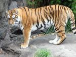 Amur Tiger stock by thiselectricheart
