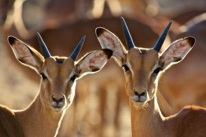 Young Impala by SAbirder