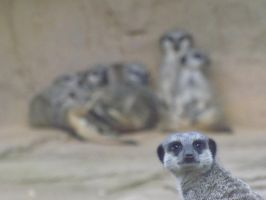 Colchester Zoo 22/8/15: Meerkats by ShmibProductions