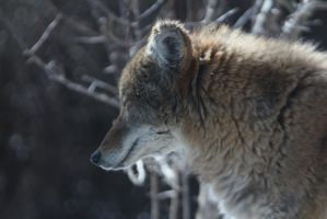 Coyote Stock 7 by HOTNStock