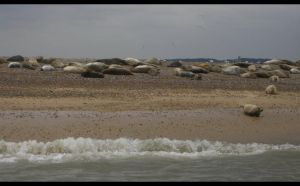 Seals at Blakely Point I by Aizxana