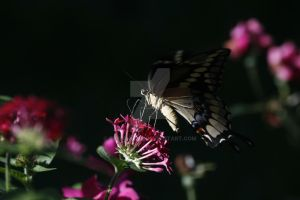 Swallowtail by EyeInFocus